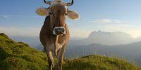 Kuh-auf-der-Eggenalm-©Eisele-Hein